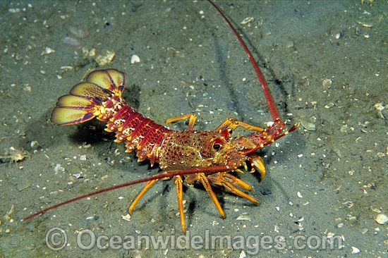 Red Spiny Lobster or Southern Rock Lobster (Jasus edwardsii). Also known as Crayfish. Southern Australia Photo - Gary Bell