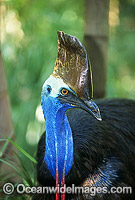 Southern Cassowary Dangerous bird photo
