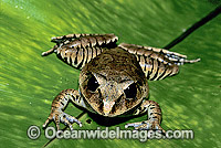 Great Barred Frog Mixophyes fasciolatus image
