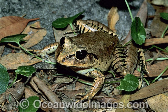 Great Barred Frog (Mixophyes fasciolatus). Coffs Harbour, New South Wales, Australia Photo - Gary Bell