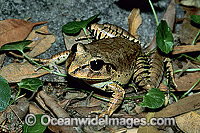 Great Barred Frog image