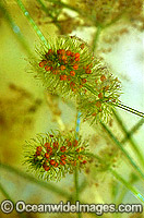 Alpine Marsh pond weed image