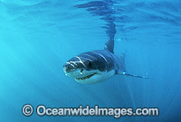 Great White Shark Photo - Gary Bell