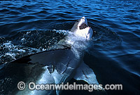Great White Shark Carcharodon carcharias Photo - Gary Bell