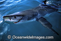 Great White Shark dorsal fin photo