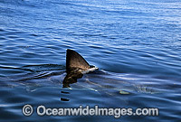 Great White Shark dorsal fin Photo - Gary Bell