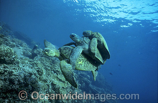 Mating Green Sea Turtles breeding