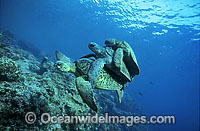 Mating Green Sea Turtles breeding Photo - Gary Bell