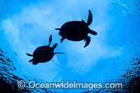 Courting Green Sea Turtles breeding season
