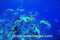 Unusual aggregation of Green Sea Turtles image