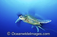 Green Sea Turtle Chelonia mydas image