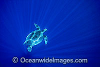 Green Sea Turtle in spiked sunrays Photo - Gary Bell