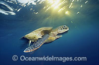 Green Sea Turtle in sunrays as sun sets