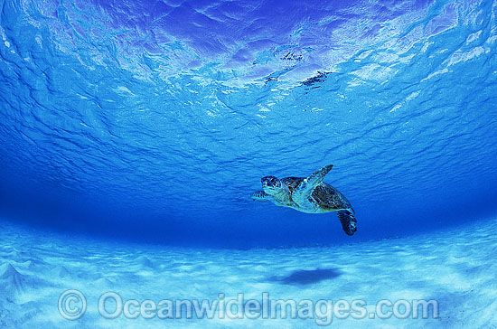 Green Sea Turtle (Chelonia mydas). Diamond Islets, Coral Sea, Australia. Found in tropical and warm temperate seas worldwide. Listed on the IUCN Red list as Endangered species.
