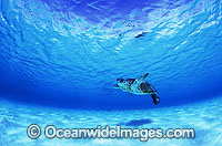 Green Sea Turtle Diamond Islets Coral Sea image