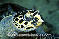 Hawksbill Sea Turtle head detail photo