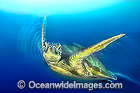 Green Sea Turtle Chelonia mydas