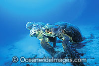 Courting female Loggerhead Turtles Photo - Gary Bell