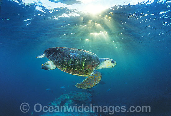 Loggerhead Sea Turtle (Caretta caretta). Heron Island, Great Barrier Reef, Queensland, Australia. Found in tropical and warm temperate seas worldwide. Endangered species listed on IUCN Red list.