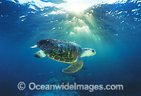 Loggerhead Sea Turtle Caretta caretta photo