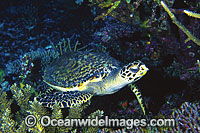 Hawksbill Sea Turtle Eretmochelys imbricata Photo - Gary Bell