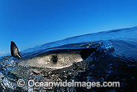 Great White Shark fin, eye and pores photo