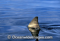 Great White Shark dorsal fin breaking surface photo