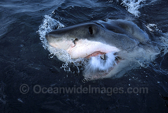 Great White Shark (Carcharodon carcharias) mouthing ocean surface. Gansbaai, South Africa. Protected species Classified as Vulnerable on the IUCN Red List. Photo - Gary Bell