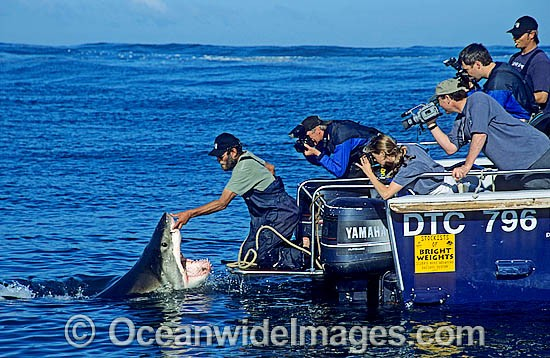 Shark wrangler fends off Great White Shark (Carcharodon carcharias) to prevent from biting boat stern. Gansbaai, South Africa. Sequence - D1.