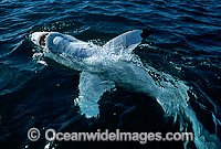 Great White Shark Carcharodon carcharias photo