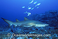Sand Tiger Shark Carcharias taurus Photo - Gary Bell
