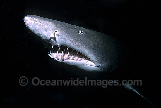 Grey Nurse Shark (Carcharias taurus). Also known as Sand Tiger Shark and Spotted Ragged-tooth Shark. New South Wales, Australia. Classified Vulnerable IUCN Red List, protected in Australia. Photo - Gary Bell