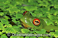 Red-eyed Tree Frog in duck weed image