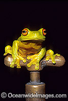 Red-eyed Tree Frog on Garden tap Photo - Gary Bell