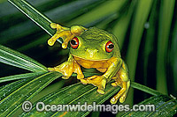 Red-eyed Tree Frog on palm frond image
