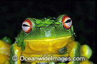 Red-eyed Tree Frog covered in duck weed image