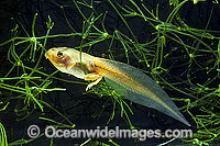 Green Golden Bell Frog Litoria aurea tadpole Photo - Gary Bell