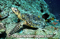 Hawksbill Sea Turtle carapace Photo - Gary Bell