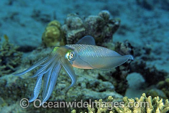 http://www.oceanwideimages.com/images/6361/large/24M1655-09-bigfin-reef-squid.jpg