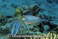 Bigfin Reef Squid Photo - Gary Bell