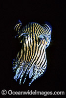Striped Pyjama Squid Sepioloidea lineolata Photo - Gary Bell