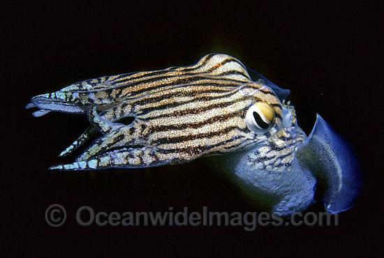 45a804d735 Striped Pyjama Squid Sepioloidea lineolata Photo - Gary Bell