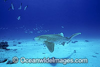 Leopard Shark Stegastoma fasciatum Photo - Gary Bell