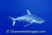 Silky Shark Exmouth image