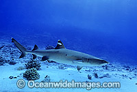 Whitetip Reef Shark Triaenodon obesus Photo - Gary Bell