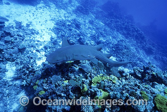 Tawny Shark (Nebrius ferrugineus). Also known as Tawny Nurse Shark, Spitting Shark and Sleepy Shark. Great Barrier Reef, Queensland, Australia
