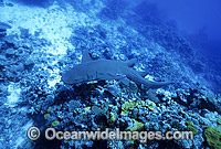 Tawny Shark Nebrius ferrugineus Photo - Gary Bell
