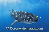 Whale Shark with Pilot Fish around mouth image