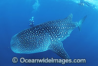 Whale Shark and Scuba Diver Photo - Gary Bell