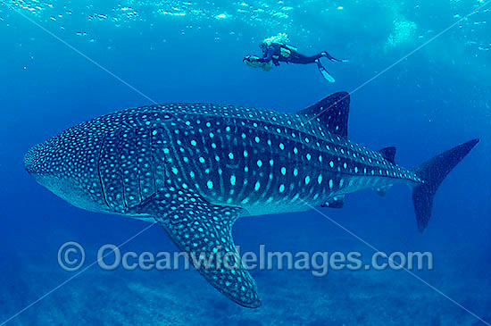 Whale Shark (Rhincodon typus) and Scuba Diver. Indo-Pacific. Found throughout the world in all tropical and warm-temperate seas. Classified Vulnerable on the IUCN Red List.